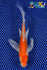"6.5"" KIKUSUI BUTTERFLY - Koi To The World - 1"