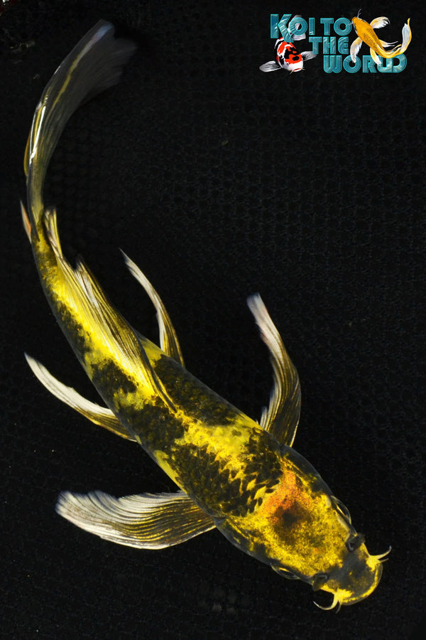 "8.75"" KIN KI UTSURI BUTTERFLY - Koi To The World - 1"