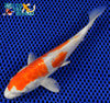 "6.25"" KIKUSUI - Koi To The World - 4"