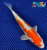 "6.25"" KIKUSUI - Koi To The World - 5"