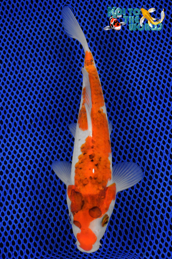 "7.75"" GOROMO - Koi To The World - 1"