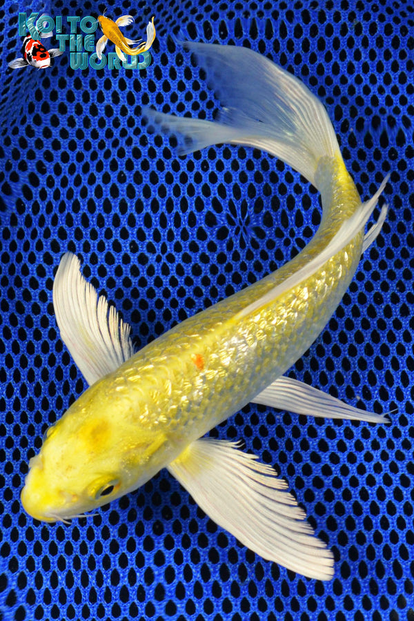 "8"" GINRIN YAMABUKI OGON BUTTERFLY - Koi To The World - 1"