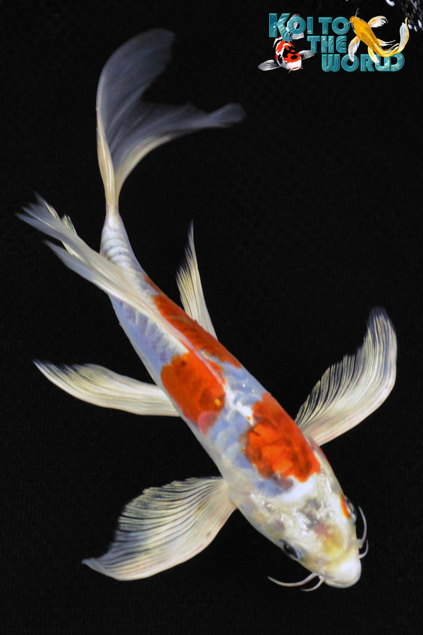 "8.75"" DOITSU KUJAKU BUTTERFLY - Koi To The World - 1"