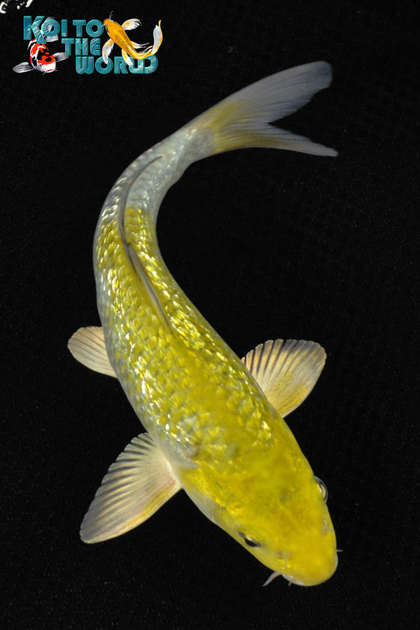 "7.5"" GINRIN OCHIBA SHIGURE - Koi To The World - 1"