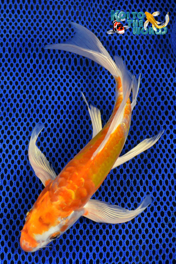 "8"" KIKUSUI BUTTERFLY - Koi To The World - 1"