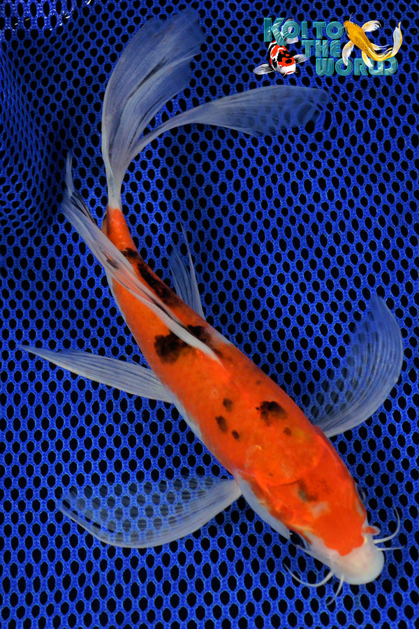 "8.5"" SANKE BUTTERFLY - Koi To The World - 1"