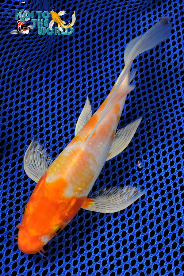 "6.75"" HARIWAKE BUTTERFLY - Koi To The World - 1"