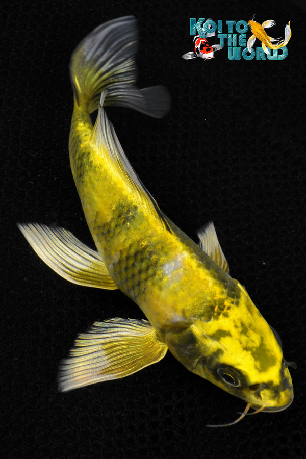 "6.75"" KI UTSURI BUTTERFLY - Koi To The World - 1"