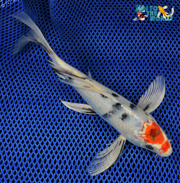 7 5 tancho yamato nishiki butterfly koi to the world for Black butterfly koi for sale
