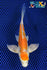 "6"" KIKUSUI BUTTERFLY - Koi To The World - 1"