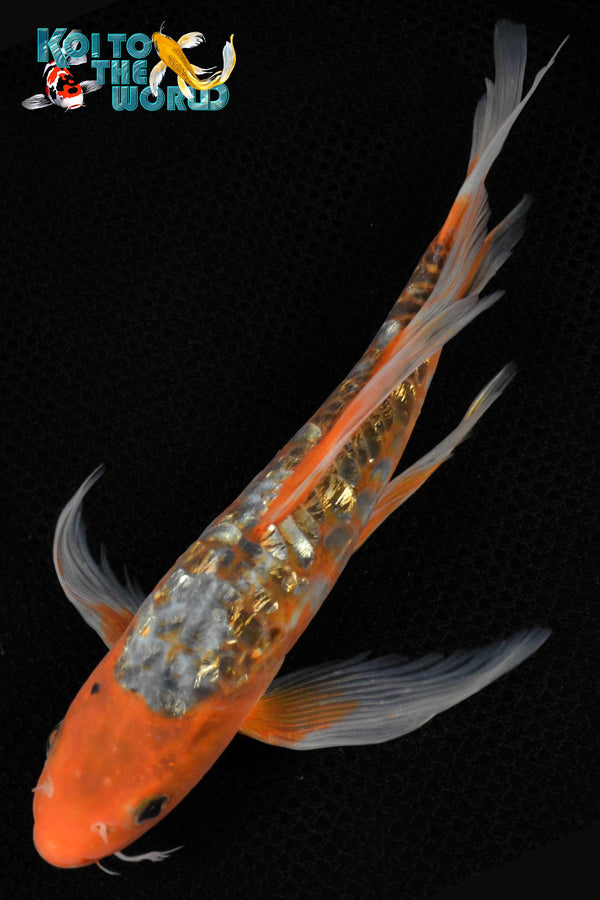 "8.5"" GINRIN HI SHUSUI BUTTERFLY - Koi To The World - 1"