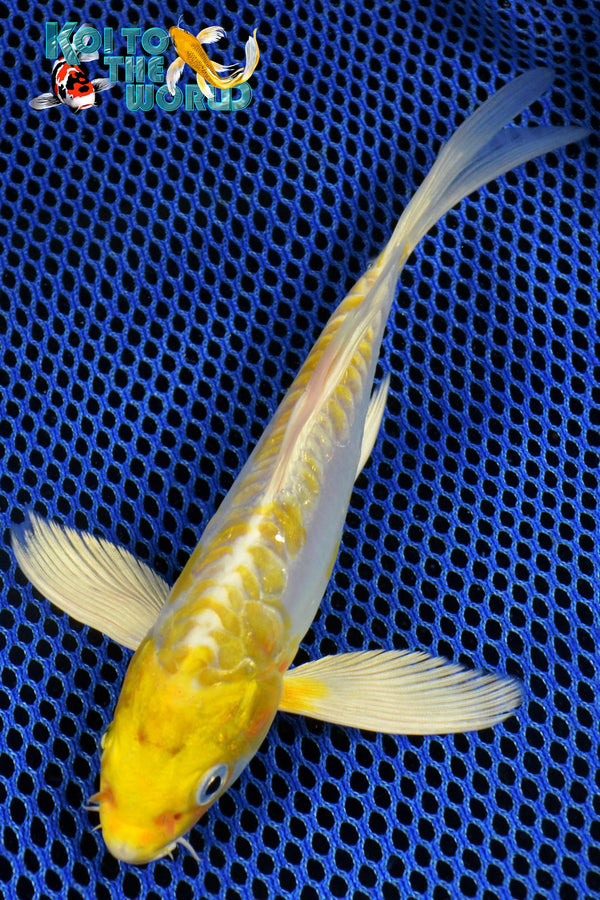 "6.75"" DOITSU HARIWAKE BUTTERFLY - Koi To The World - 1"