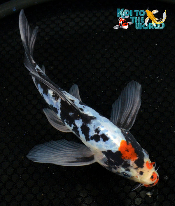 "6.25"" BENI KUMONRYU BUTTERFLY - Koi To The World - 1"