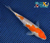 "6.25"" GINRIN KOHAKU - Koi To The World - 2"