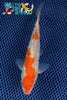 "6.25"" GINRIN KOHAKU - Koi To The World - 1"