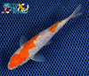"6.25"" GINRIN KOHAKU - Koi To The World - 3"