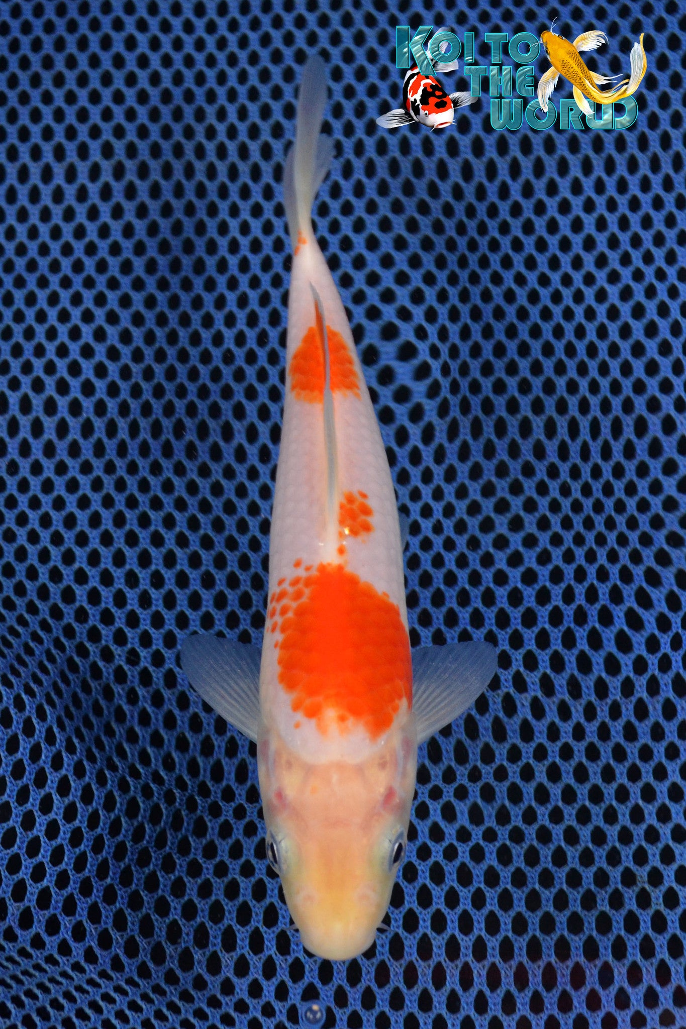 "6.25"" KOHAKU - Koi To The World - 1"