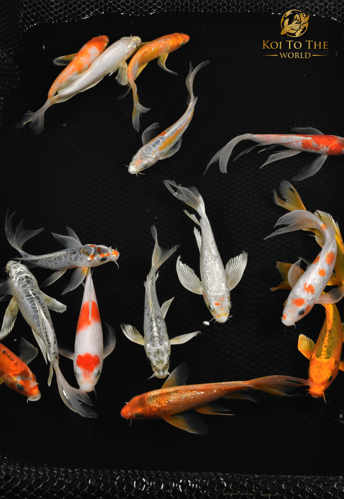 Koi fish for sale live koi fish for sale buy koi for Green koi fish for sale