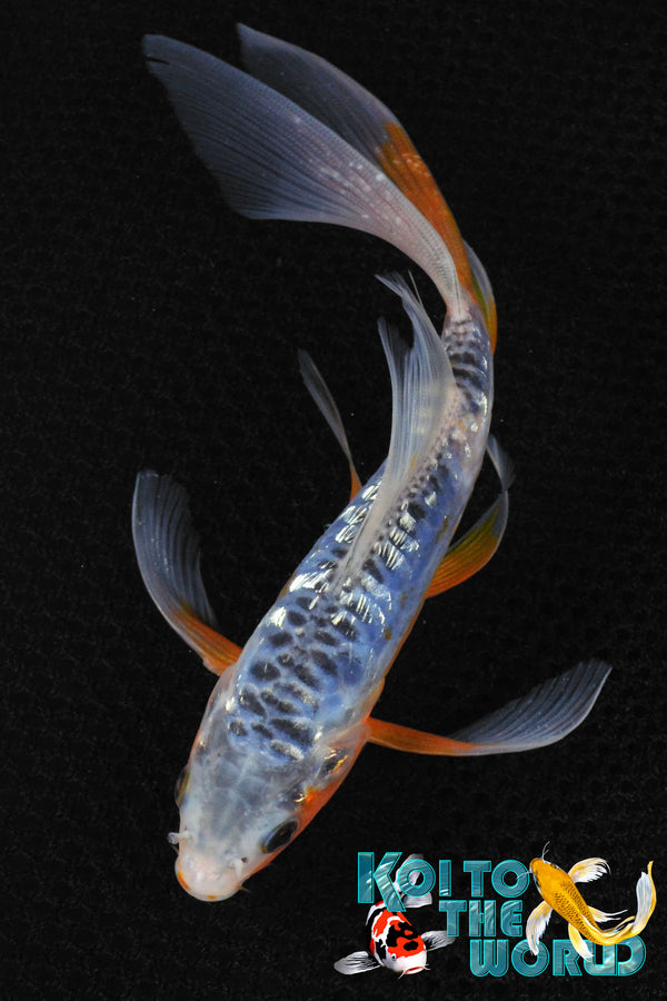 "6.25"" GINRIN SHUSUI BUTTERFLY - Koi To The World - 1"