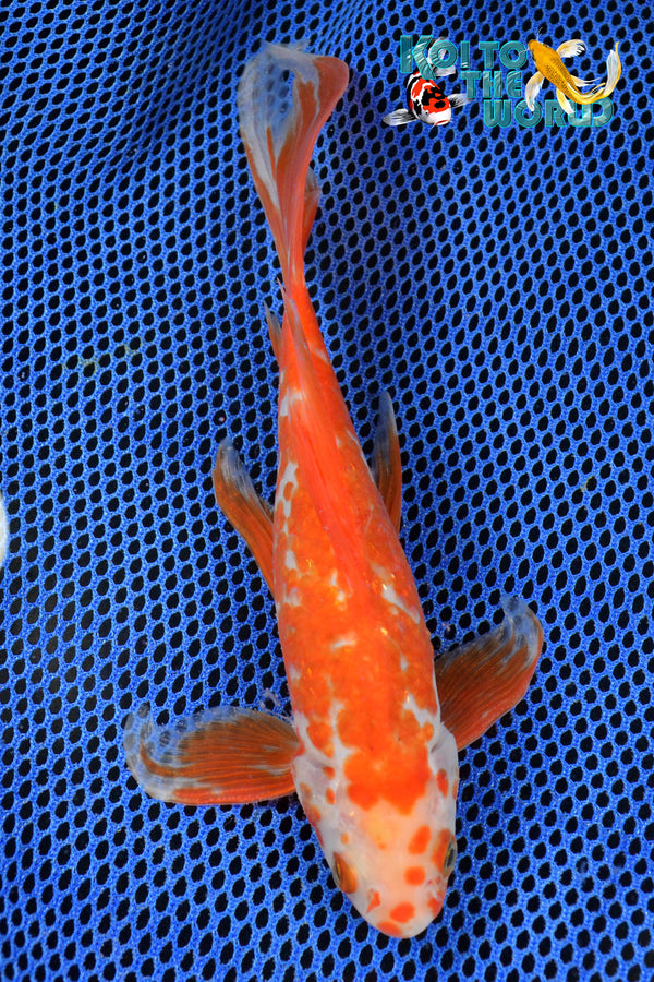 "9"" SARASA COMET - Koi To The World - 1"