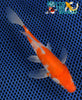 "5.75"" KOHAKU BUTTERFLY - Koi To The World - 5"