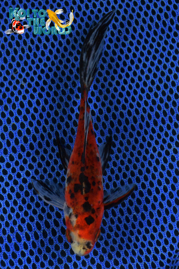 "6"" SHUBUNKIN - Koi To The World - 1"