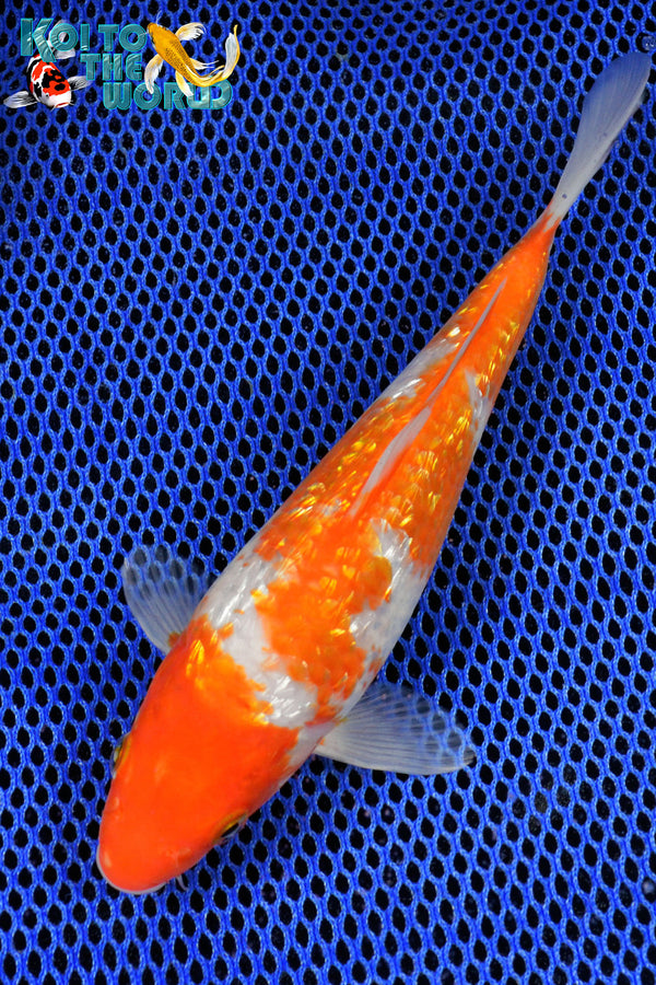 "8"" GINRIN KOHAKU - Koi To The World - 1"