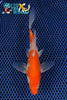 "5.75"" KOHAKU BUTTERFLY - Koi To The World - 1"