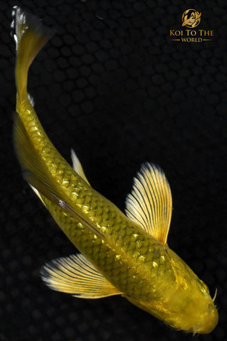 "6.5"" GINRIN GOLD DUST CHAGOI BUTTERFLY"