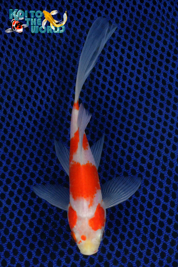 "6.25"" SARASA COMET - Koi To The World - 1"