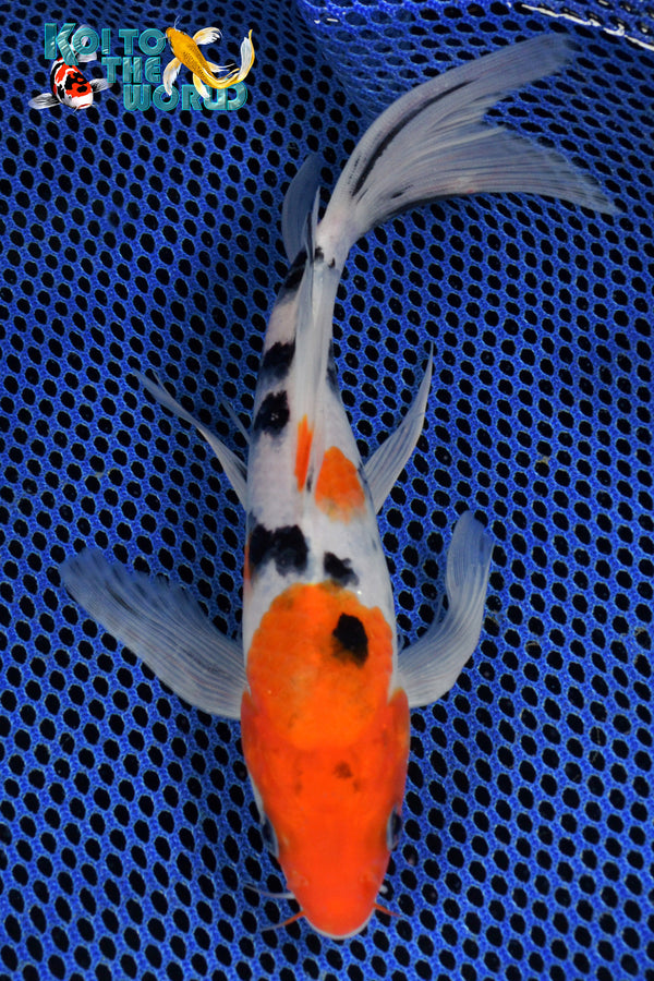 "7.75"" SANKE BUTTERFLY - Koi To The World - 1"