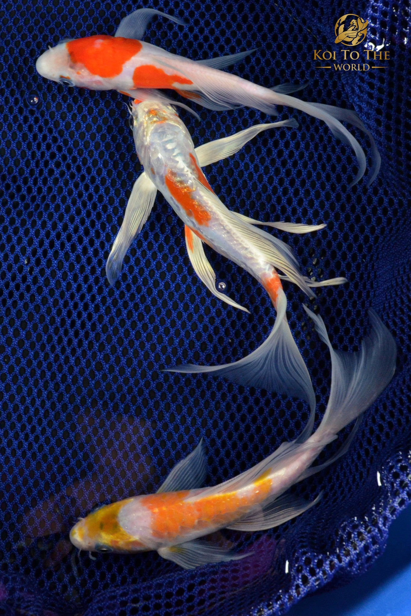 "(3) ASSORTED 6-7"" BUTTERFLY KOI"