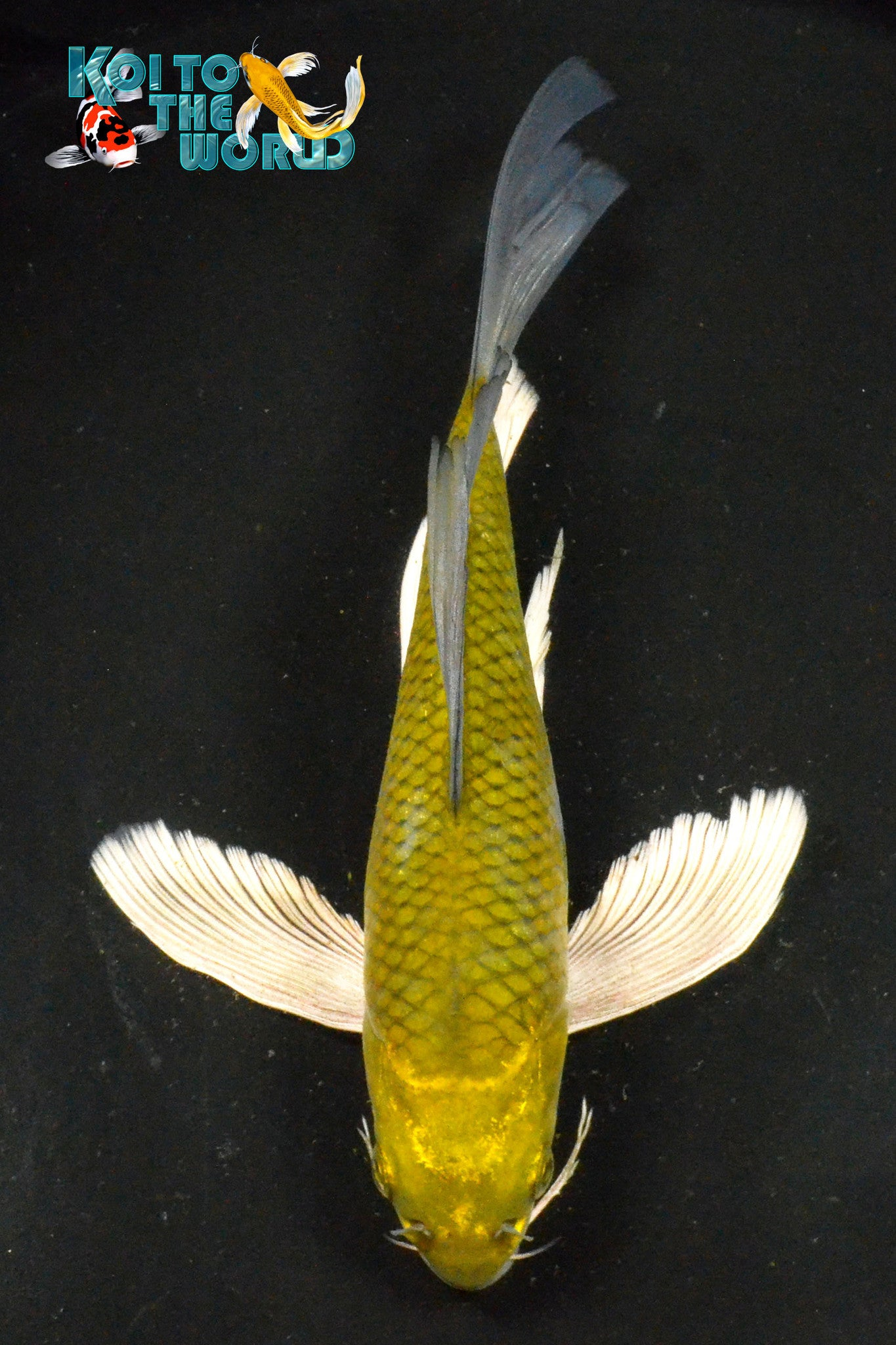 "8"" CHAGOI BUTTERFLY - Koi To The World - 1"
