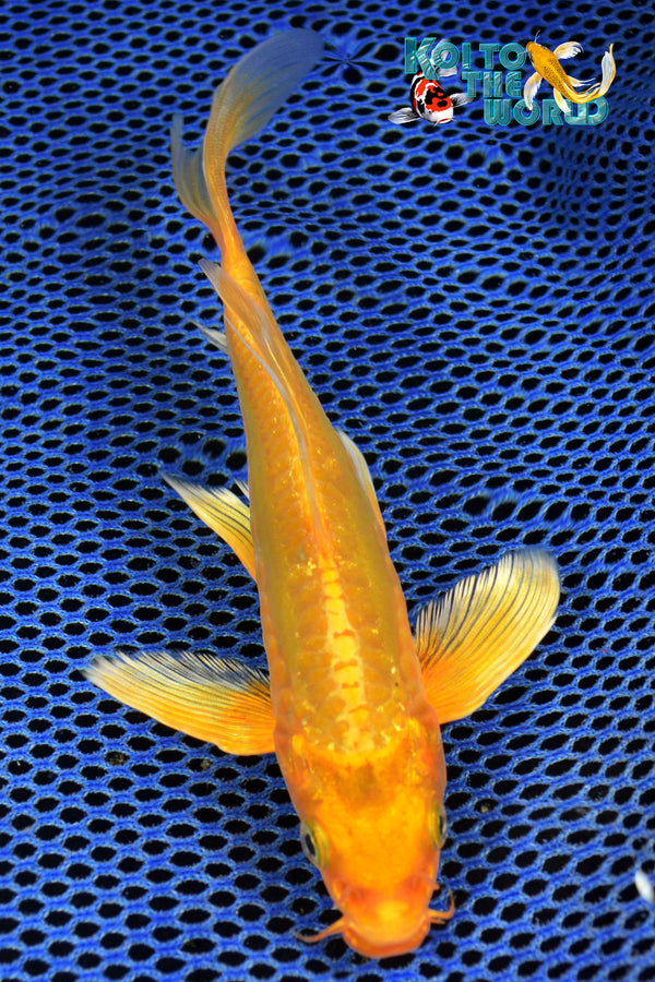 "6.75"" DOITSU ORENJI OGON BUTTERFLY - Koi To The World - 1"