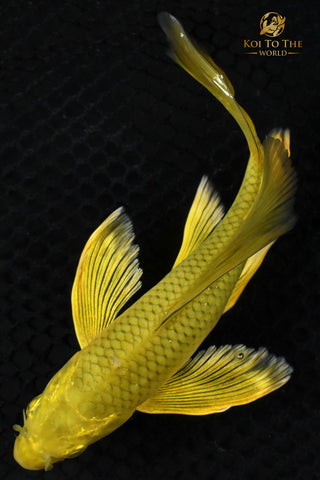 "6.5"" ""GOLD DUST"" CHAGOI BUTTERFLY"