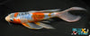 "7.75"" SHUSUI BUTTERFLY - Koi To The World - 2"
