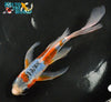 "7.75"" SHUSUI BUTTERFLY - Koi To The World - 4"