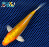 "6.25"" KIKUSUI - Koi To The World - 3"