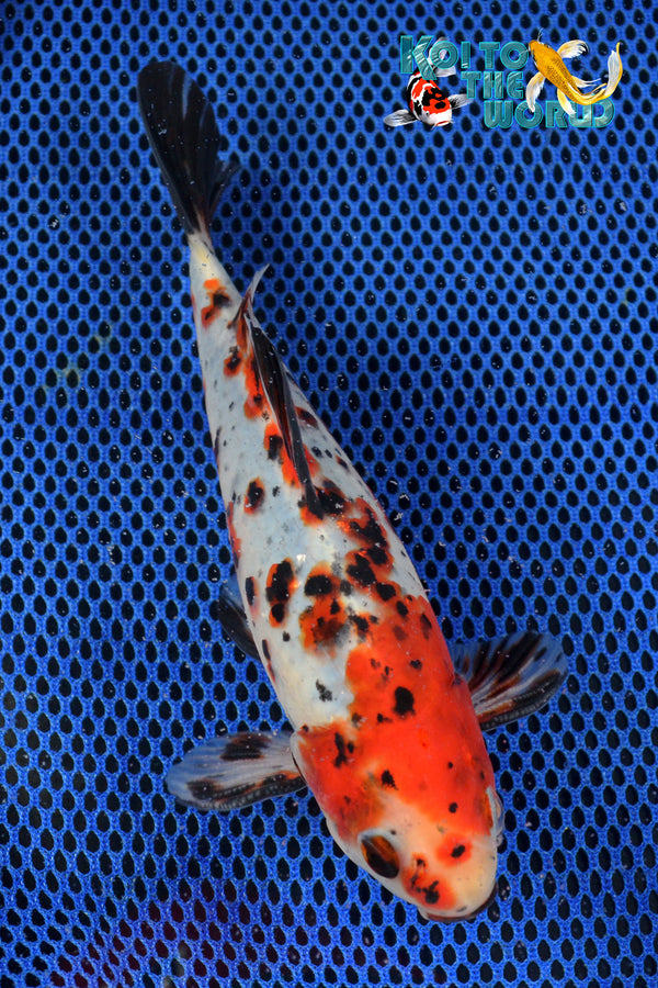 "7.25"" SANKE GOLD SHUBUNKIN - Koi To The World - 1"