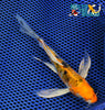 "6.25"" HEISEI NISHIKI BUTTERFLY - Koi To The World - 2"
