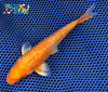"6.25"" GINRIN HARIWAKE - Koi To The World - 3"