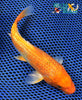 "6.25"" GINRIN HARIWAKE - Koi To The World - 5"