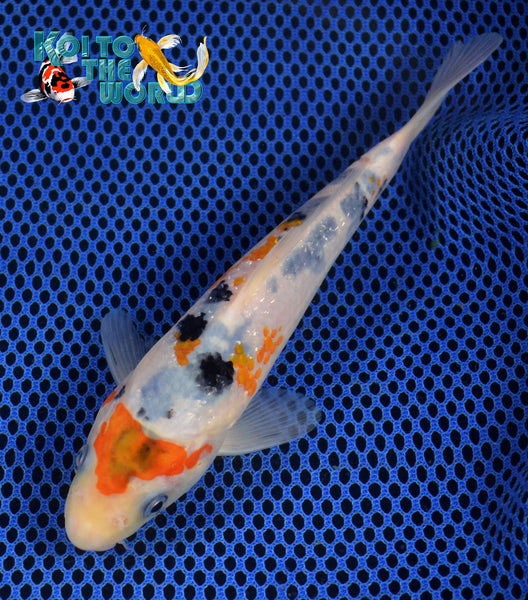7 sanke koi to the world for Sanke koi for sale