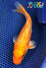 "6.25"" GINRIN HARIWAKE - Koi To The World - 1"