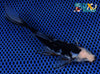 "6.25"" BLACK OPAL SHUBUNKIN - Koi To The World - 3"