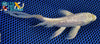 "6.25"" GINRIN PLATINUM OGON BUTTERFLY - Koi To The World - 3"
