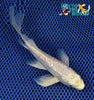 "6.25"" GINRIN PLATINUM OGON BUTTERFLY - Koi To The World - 6"