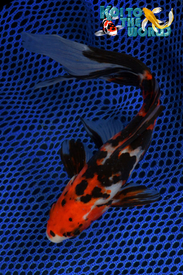 "6.5"" SHUBUNKIN - Koi To The World - 1"