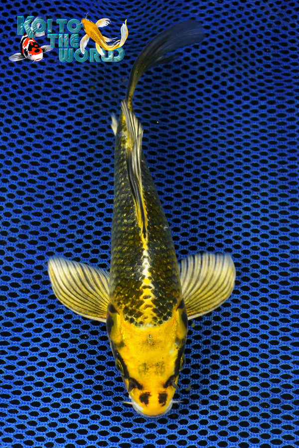 "7.5"" KUJAKU BUTTERFLY - Koi To The World - 1"