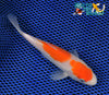 "5.75"" KOHAKU - Koi To The World - 2"